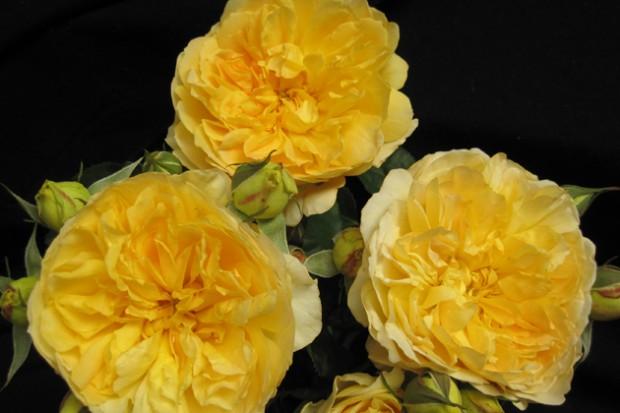 Molineux Rose Society Of South Australiarose Society Of