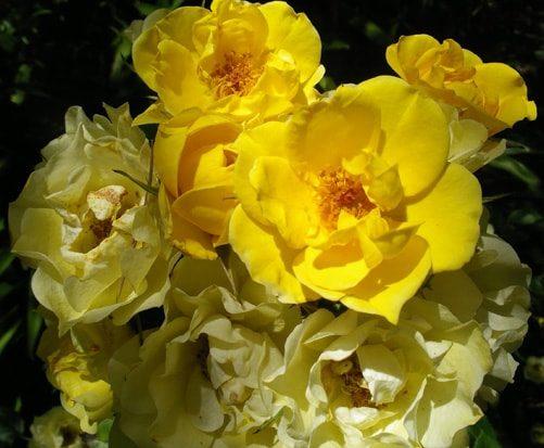 SA Rose Golden Gardens