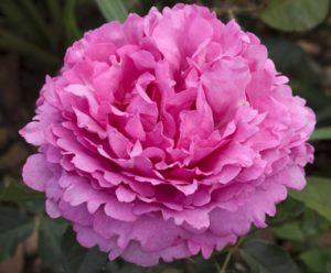 Queen Adelaide single bloom Photo Meilland