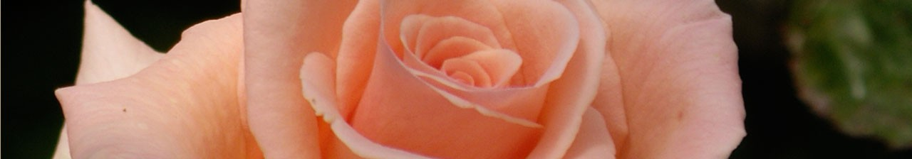 Rose month banner